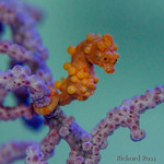 Adult Pygmy Seahorse on pink Muricella, it was unknown if the yellow seahorses would venture onto the pink coral