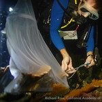 Justin Zimmerman from SeaWorld places a collection tent over a spawning elkhorn coral (A. palmata).