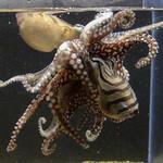 Larger Pacific Octopuses mate dangerously 'beak to beak' – photo by Richard Ross