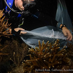 Ryan Czaja from Mystic Aquarium places a collection tent over a spawning staghorn coral (A. cervicornis).