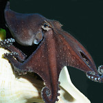 Larger Pacific Striped Octopus presenting a dark 'leaf' display – photo by Roy Caldwell
