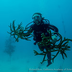 Kristen Aanerud from the Florida Aquarium brings staghorn corals from the Coral Restoration Foundations nursery up to the boat for transport to the lab. At the lab, corals will be watched fo ...