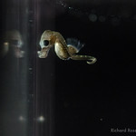 One day old baby pygmy seahorse