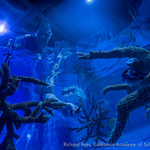 Richard Ross from the Steinhart Aquarium in the California Academy of Sciences arranges staghorn in a holding tank at the Coral Restoration Foundations lab where corals will be watched for s ...