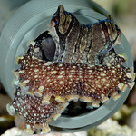 Juvenile Larger Pacific Striped Octopus denning in a 3/4 inch tube – photo by Roy Caldwell